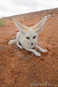 desert-fox-21240280